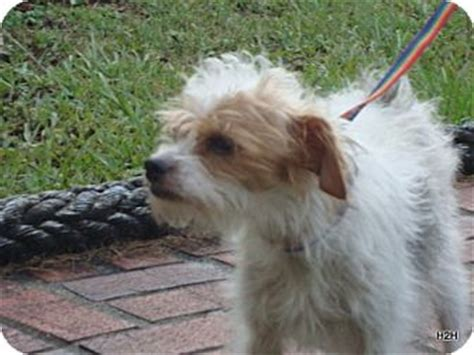 maltese in chinese magsy adopted dog 239 duluth ga maltese chinese