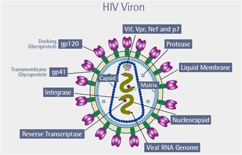 diagram of hiv virus the virus the virus the age of aids frontline pbs