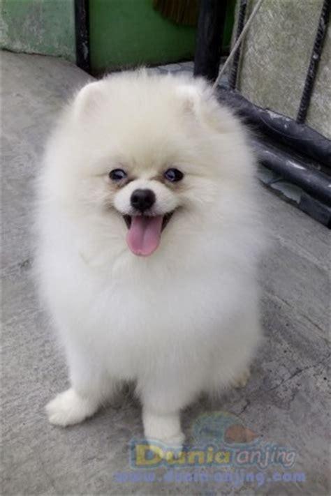 pomeranian show dunia anjing jual anjing pomeranian dijual pomeranians show quality