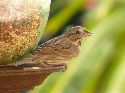 lincoln s sparrow wikipedia