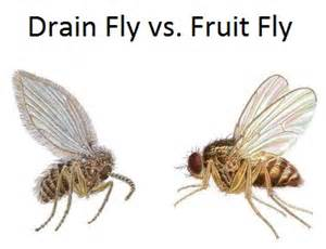fruit flies in drain fruit fly sewer gnat bpc pittsburgh