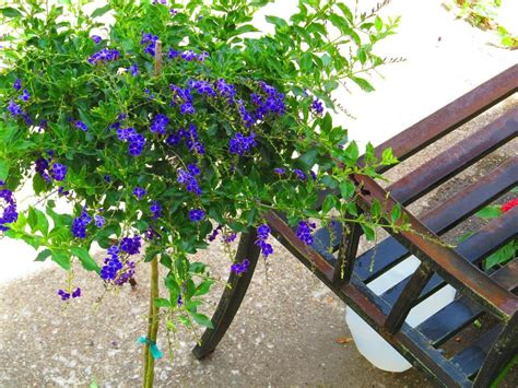 where to drop tree photo of the entire plant of golden dew drop duranta
