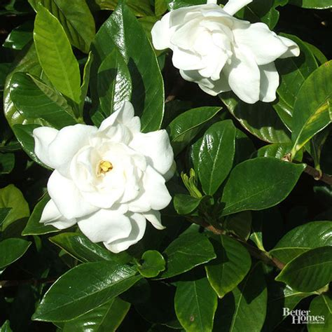Gardenia Uses What Can I Do About Black Leaves On My Gardenia Bush