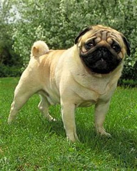 ancient pug 17 best images about pugs on image search don t judge and foo