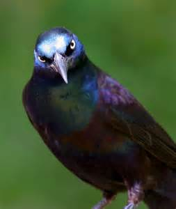 Most Common Backyard Birds - bill hubick photography common grackle quiscalus quiscula purple grackle bronzed grackle