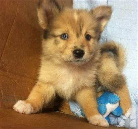 ausky puppies ausky puppy husky mini aussie blend tator tot for sale in saronville