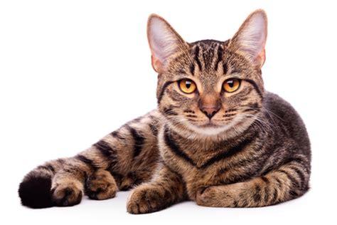 un gato a cat como limpiar los dientes de un gato