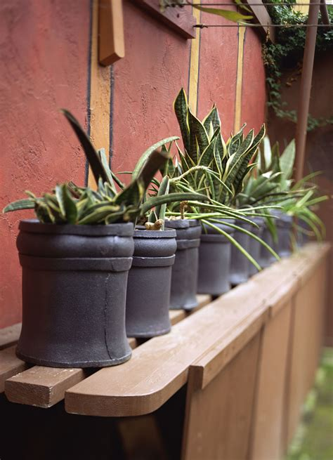 growing tips of snake plant motherinlaws tongue