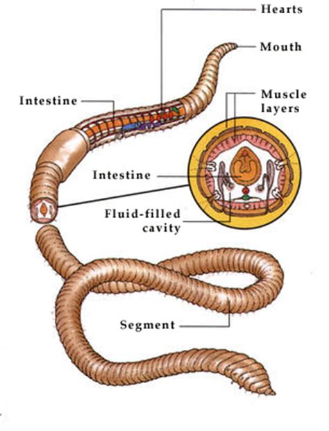 what is inside an earthworm s