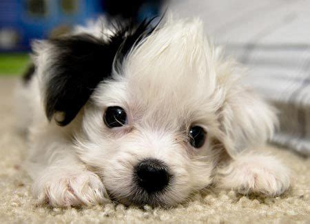 puppies for sale in florida maltipoo puppies for sale boca raton fl puppies for sale