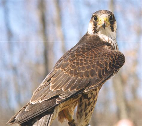 the canadian peregrine foundation raptor photo gallery