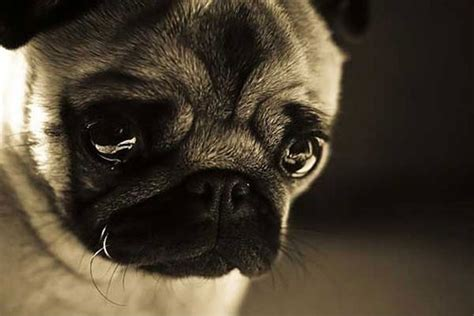 sad pug puppy sad pug puppies foto 2017
