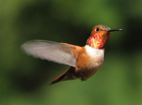 birds rufous hummingbird