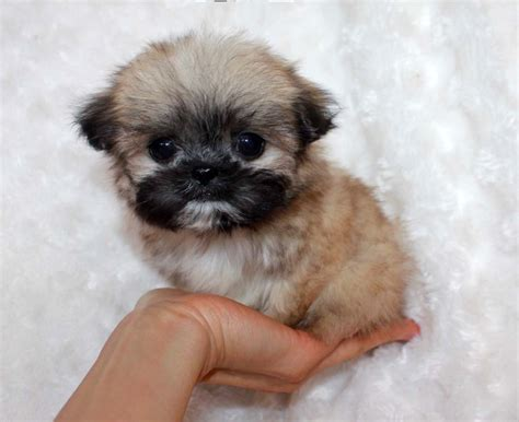 teacup teddy puppies micro teacup puppy teddy for sale iheartteacups