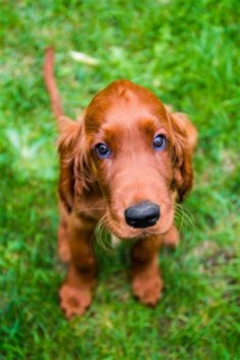 setter dog synonym related keywords suggestions for irish setter puppies