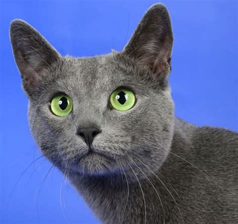 blue breed the russian blue cat cat breeds encyclopedia