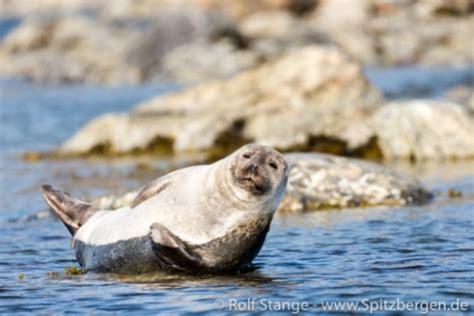 Seehund - Phoca vitulina - Spitzbergen   Svalbard Seehund