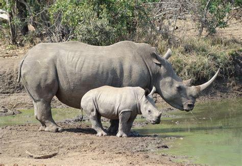 imagenes rinoceronte blanco enciclopedia animal animales de la sabana rinoceronte