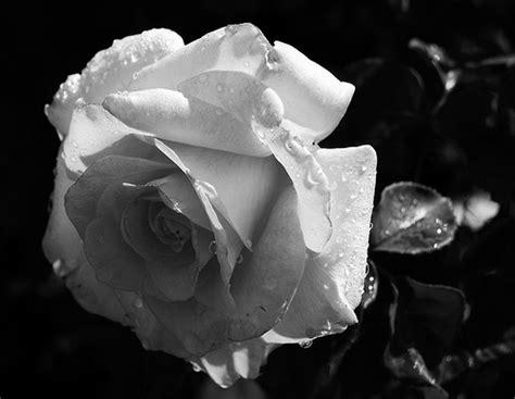 Imagenes En Blanco Y Negro De Rosas | rosas en blanco y negro imagui