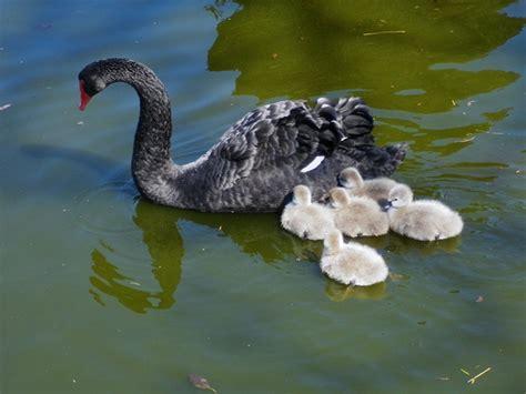 black swan and babies baby birdorable black swan in baby birds swans
