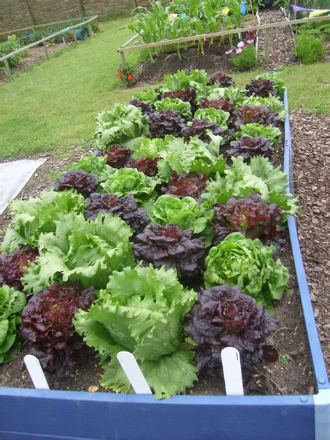 gardening pictures file lettuces in hyde hall vegetable garden jpg