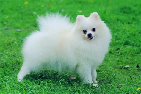small white puppy small white pomeranian breeds adogbreeds