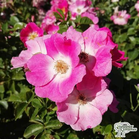 buy rosa american pillar rambling rose   uk