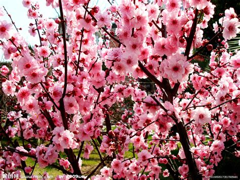 plum blossom tree new year 梅花摄影图 花草 生物世界 摄影图库 昵图网nipic