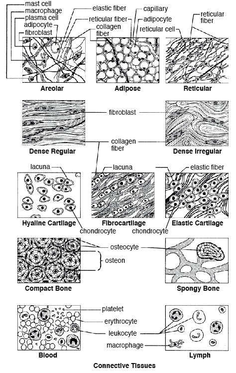 anatomy and physiology coloring workbook answers tissues connective tissue
