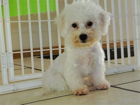 bichon frise puppies for sale craigslist bichon frise puppies dogs for sale in rock arkansas ar 19breeders
