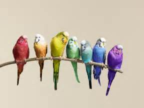 parakeet colors budgies images flock of budgies hd wallpaper and