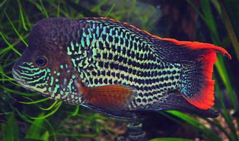 Saklar Headl Tiger green terror fish the fishop the fishop