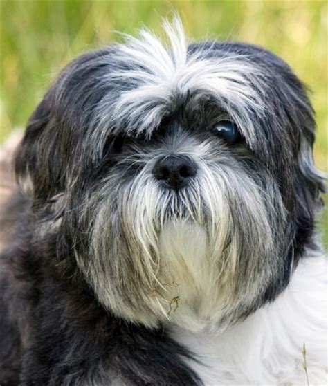 shih tzu health problems uk 5 most expensive breeds to own animal bliss