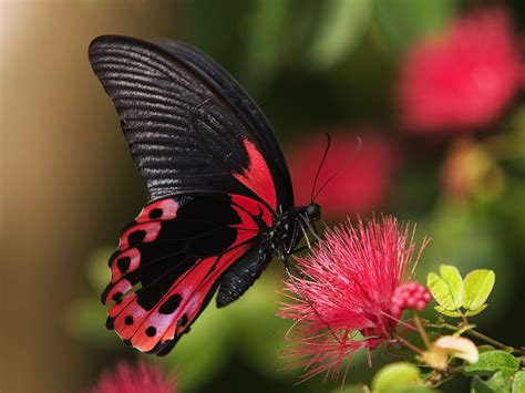 Butterfly P butterfly the most beautiful insect the wondrous pics