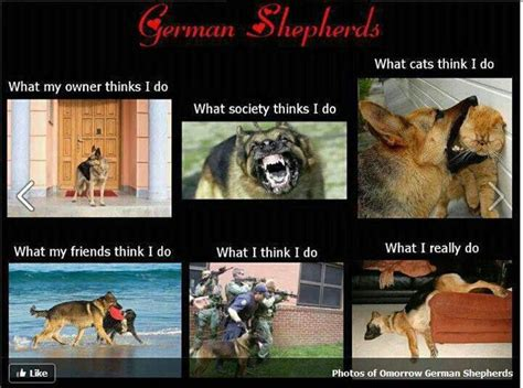 Funny German Shepherd Memes - german shepherds gaurd dog meme cali girl pinterest