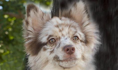 aussie pomeranian mix australian shepherd pomeranian mix www imgkid the image kid has it