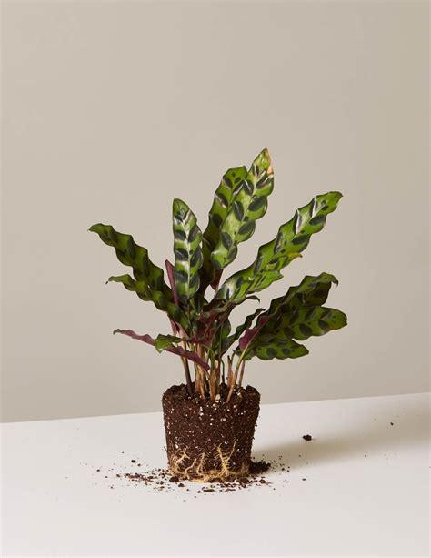 calathea rattlesnake shop indoor plants  sill