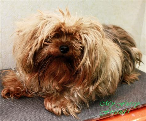 regular yorkie my friends pet grooming self serve pet wash before after photos