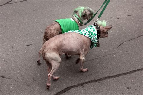 with a hairless dogs with green mohawks derek broox