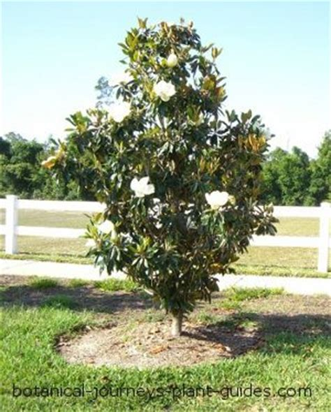 florida s little gem magnolia with white cup flowers