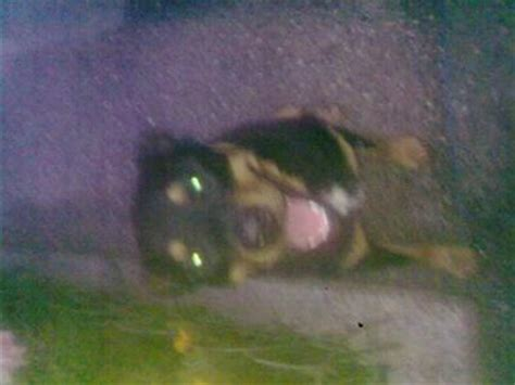 rottweiler with white patch on chest my rottweiler has a white stripe going on his chest his name is guildo a