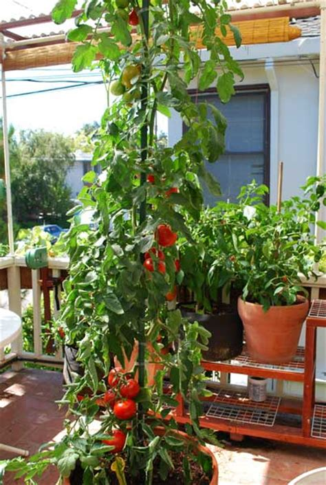 Planter Size For Tomatoes by Growing Early Tomatoes