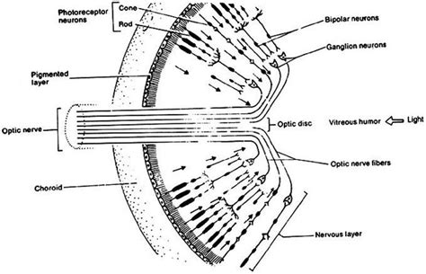 retina diagram eyech3 i html