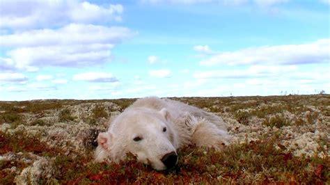 polar bears a summer odyssey 2012 full movie polar bears a summer odyssey 2012 yify download movie torrent yts