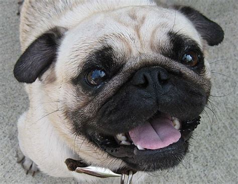 pug service pug stud service breeder akc puppies massachusetts ma