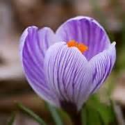 fiore croco crocus bulbi crocus bulbi