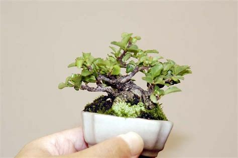bonsai the beginner s guide to cultivate grow shape and show your bonsai includes history styles of bonsai types of bonsai trees trimming wiring repotting and watering books beginners guide to growing mame bonsai dengarden