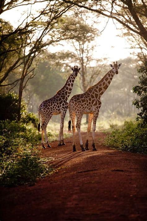 jirafas imagenes lindas mejores 122 im 225 genes de jirafas en pinterest jirafas