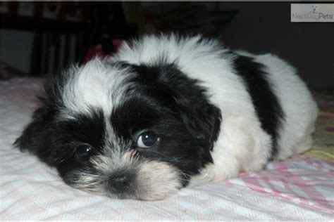shih tzu puppies kansas city akc shih tzu puppies for sale 8 weeks breeds picture