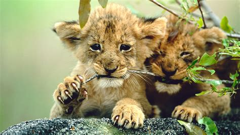 lion biography in english image gallery lion cubs information